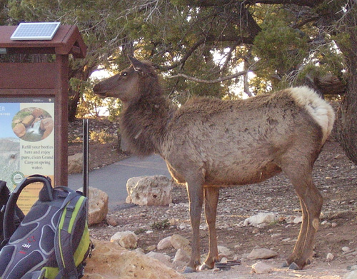 Elk at South Kaibab Trailhead, Grand Canyon