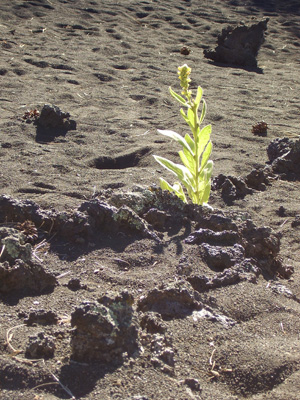 Sunset Crater plant
